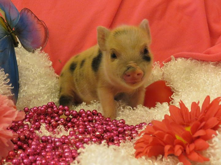 Juliana Teacup pig