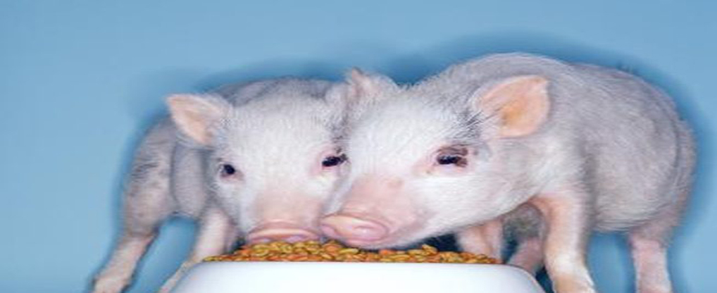 Teacup-Pigs-can-be-Superb-Pets